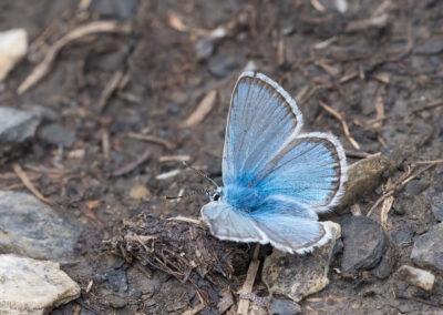(Polyommatus eros) - Frankrike, Estenc 23.07.2018