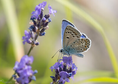 (Polyommatus escheri) - Frankrike, Rimplas 19.07.2018