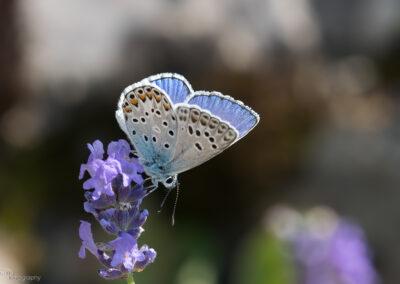 (Polyommatus escheri) - Frankrike, Rimplas 20.07.2018