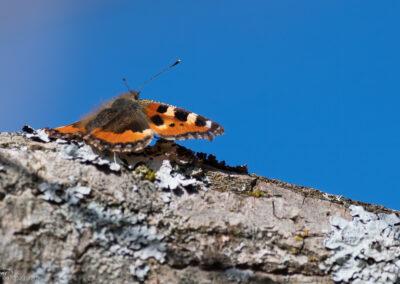 Neslesommerfugl - Norge, Fredrikstad 07.04.2020