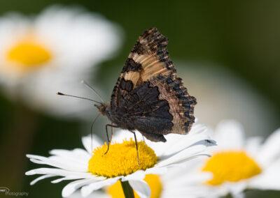 Neslesommerfugl - Norge, Fredrikstad 17.06.2020