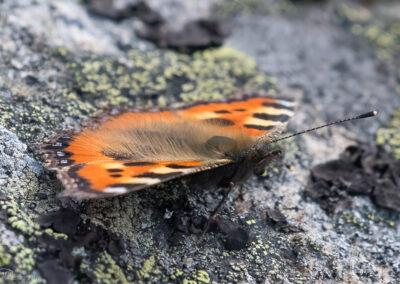 Neslesommerfugl - Norge, Evje og Hornnes 31.07.2020