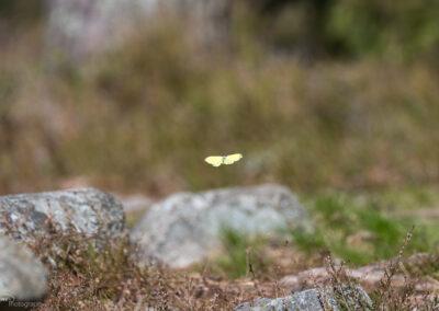 Sitronsommerfugl - Norge, Skjærviken 10.04.2020