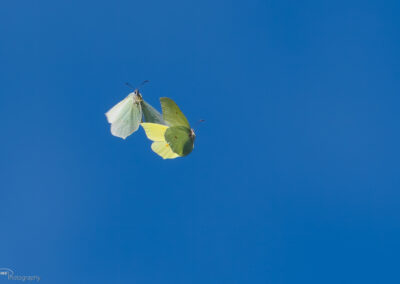 Sitronsommerfugl - Norge, Moss 02.05.2020