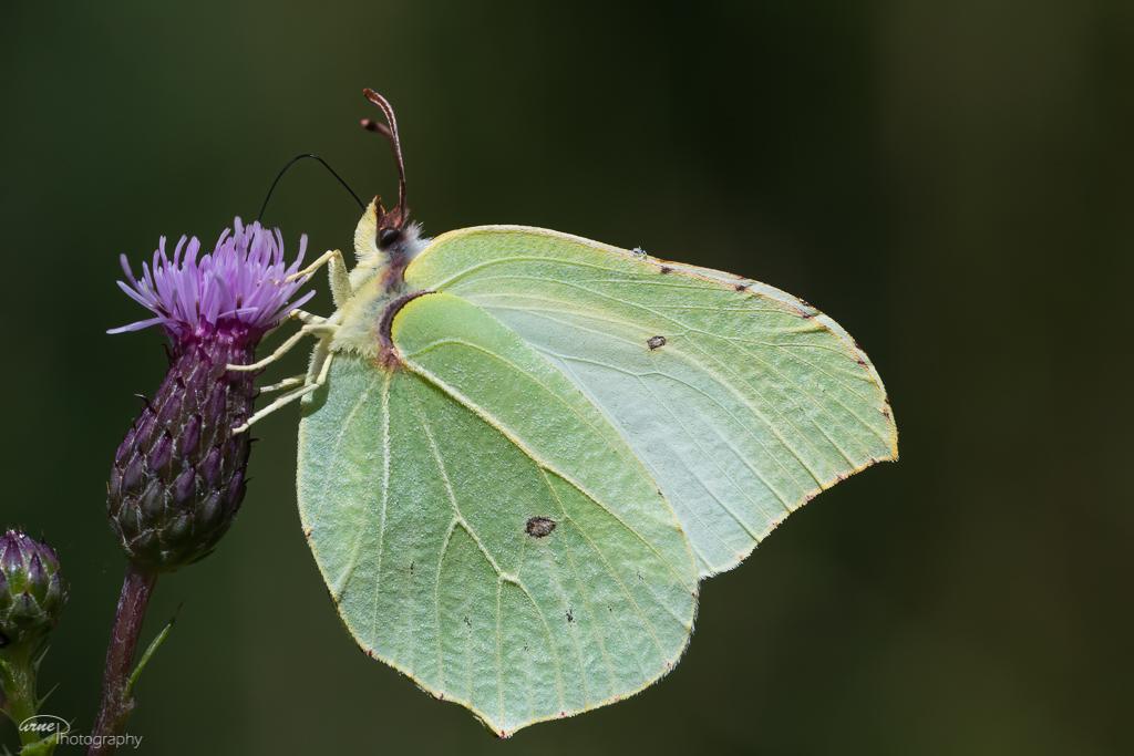 Sitronsommerfugl - Norge, Torsnes 23.07.2020