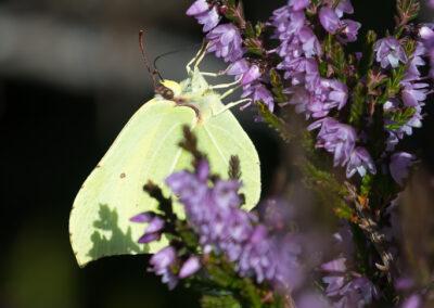Sitronsommerfugl - Norge, Evje og Hornnes 31.07.2020