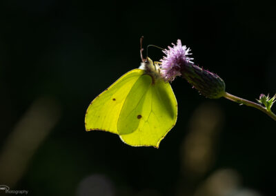 Sitronsommerfugl - Norge, Torsnes 03.08.2020