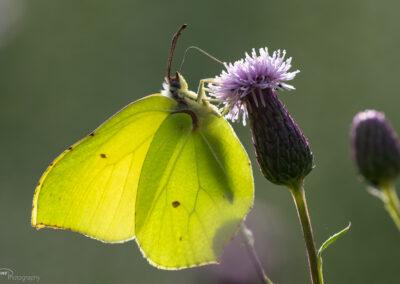 Sitronsommerfugl - Norge, Torsnes 08.08.2020