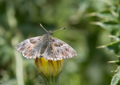 (Carcharodus flocciferus) - Frankrike, Isola 2000 20.07.2018