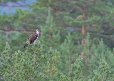 Fiskeørn - Norge, Evje og Hornnes 08.08.2019