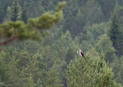 Fiskeørn - Norge, Evje og Hornnes 11.07.2017