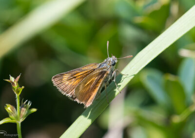 (Thymelicus acteon) - Frankrike, Rimplas 21.07.2018